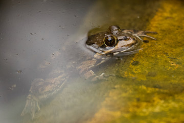 Cape river frog at water edge