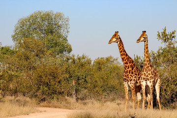 Photo sur Toile Girafe Giraffe in Sabi Sand National Park, South Africa