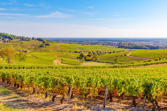 Beautiful view of the  vineyards in Burgundy, France