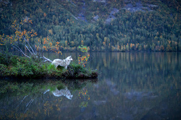 Wall Mural - Beautiful dog in a Beautiful mountain landscape. Siberian Husky on the background of mountains