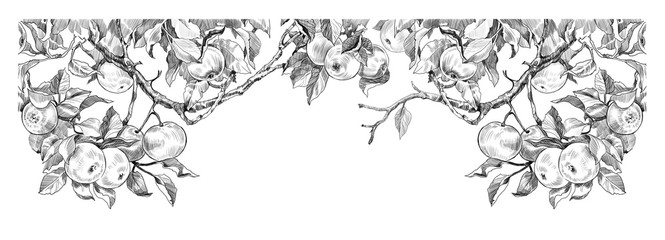 sketch of apple branches on a white background. engraving or drawing.