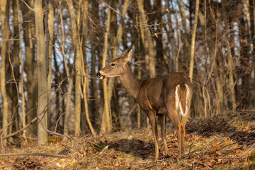 Wall Mural - White-tailed deer  in spring forest.  Spring time when they  losing their winter fur.