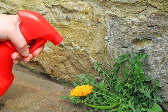 A sprayer being used to spray weed killer on to a dandelion weed growing on a pathway.