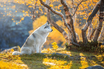Fototapete - Siberian Husky in the autumn forest of the North