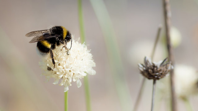 blooming bumblebee with blur background and other flowers
