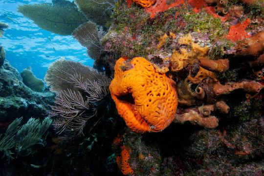 Sponge, Pennekamp Coral Reef State Park, Key Largo, Florida