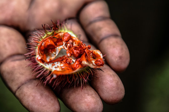 Close-up Of Annatto Fruit On Palm