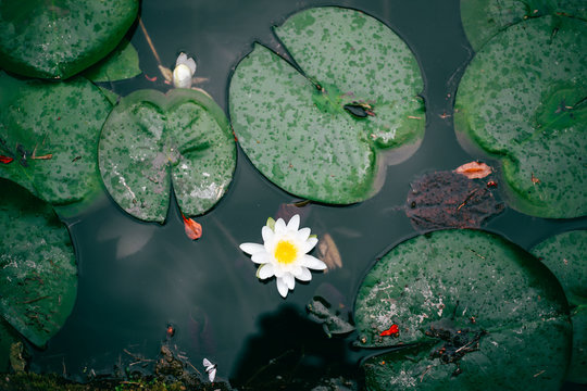 High Angle View Of Water Lily By Lily Pads Floating In Pond