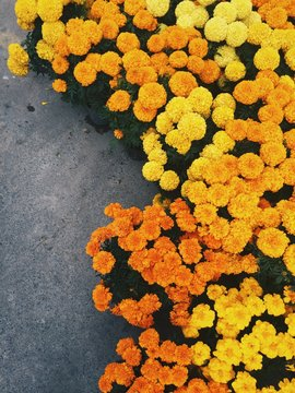High Angle View Of Marigolds Blooming Outdoors