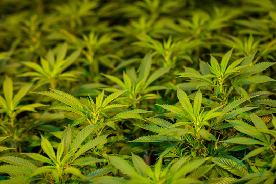 Indoor marijuana growing American facility of cannabis plants with fresh green leaves green blurred background