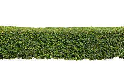 Green hedge or  bush isolated on white background