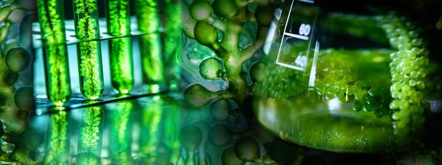 Photobioreactor in laboratory of algae fuel, biofuel industry project, Algae research in industrial laboratories for medicine