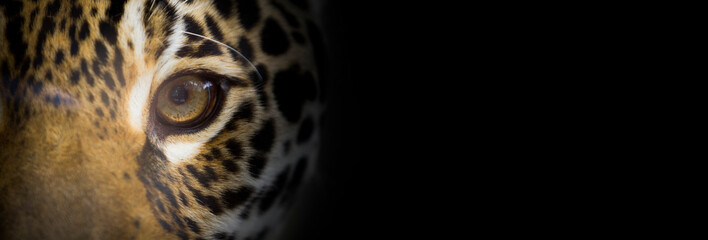 Portait of a jaguar close up, the look of the feline, dark background, wide banner