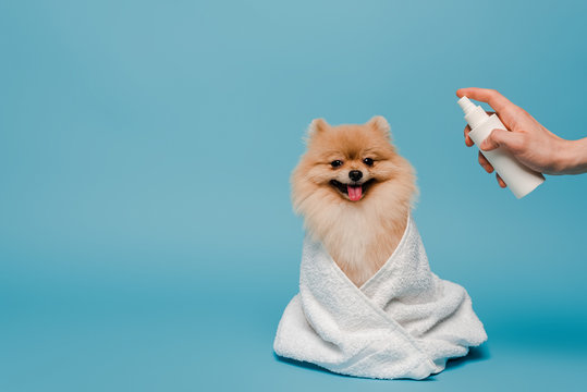 cropped view of groomer with spray bottle near pomeranian spitz dog wrapped in towel on blue