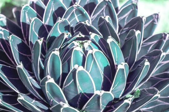 dark blue suculent closeup