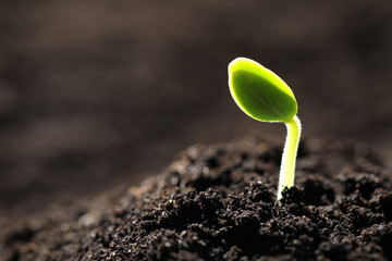 Obraz Little green seedling growing in soil, closeup. Space for text - fototapety do salonu