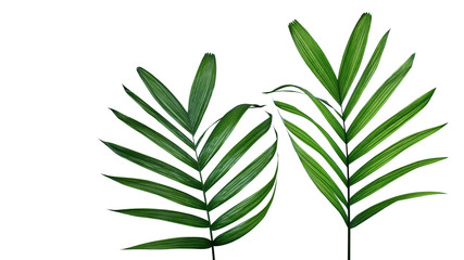 Wall Mural - Green leaves of Parlour palm (Chamaedorea elegans) the small palm tree rainforest plant, popular indoor foliage houseplant isolated on white background with clipping path.