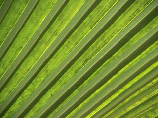 piękny zielony liść palmy afrykańskiej