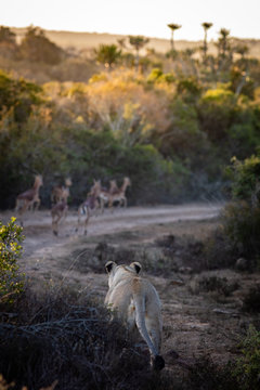 lioness stalking a heard of impala antelope