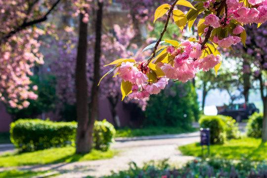sakura close up in the morning. beautiful springtime background in the garden