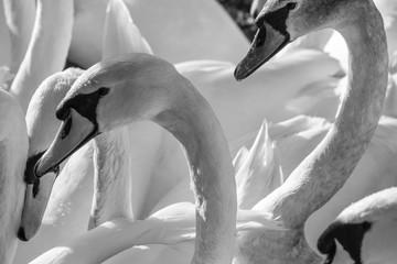 Mute Swan (Cygnus olor), Belfast Waterworks, Northern Ireland, UK Fototapete