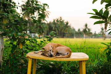 Cute street dog sleeping on a yellow table