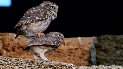 Fototapete - Little owl mating season. (Athene noctua)