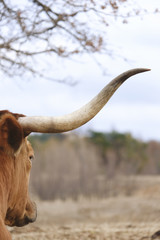 Wall Mural - Texas longhorn cow horn close up with blurred background, large animal on farm.