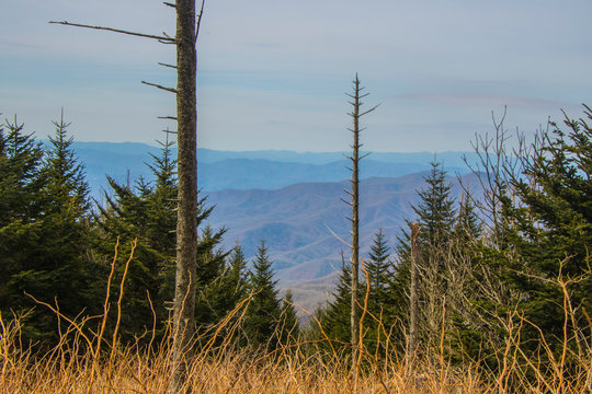 pine trees in the mountains