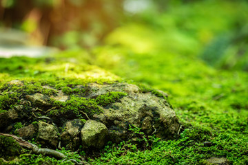 Beautiful Bright Green moss grown up cover the rough stones and on the floor in the forest. Show...