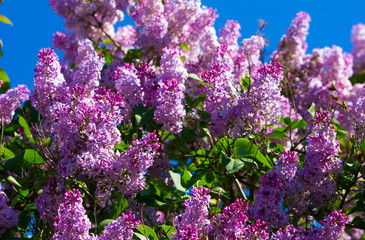 Photo sur Toile Lilac purple lilac blossoms against a blue sky