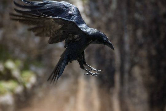 Raven diving towards the pray with its claws forward