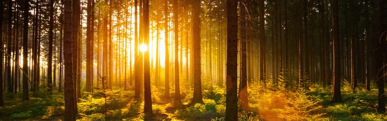 Fototapeta Pine Trees In Forest During Sunset obraz