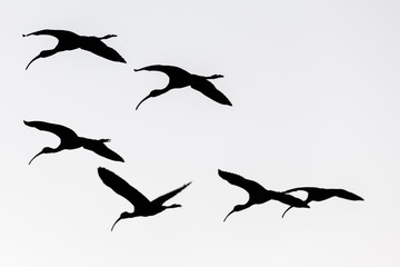 Fototapeta Low Angle View Of Silhouette Birds Flying Against Clear Sky