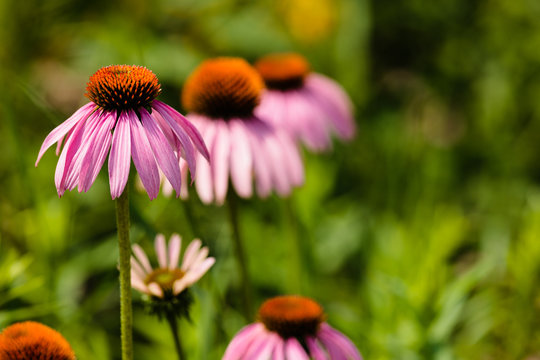 Purple Coneflower all aligned in a row  growing within the Horicon National Wildlife Refuge, Waupun, Wisconsin