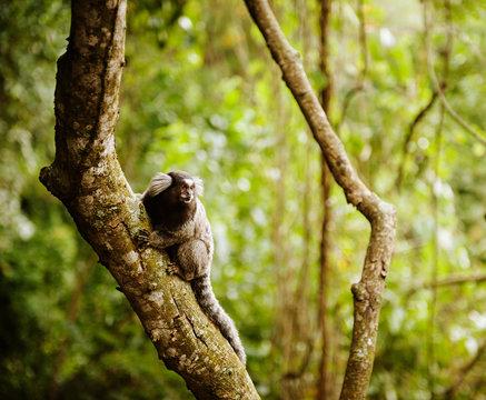 Marmoset monkey along the trail up sugarloaf mountain, Rio de Janeiro, Brazil