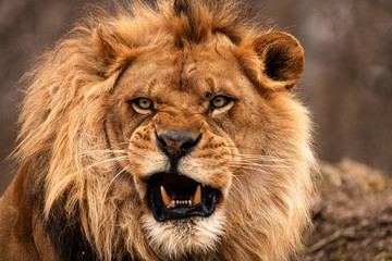 Portrait of a male African lion