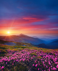 Wall Mural - Charming pink flower rhododendrons at magical sunset. Location Carpathian mountain, Ukraine.