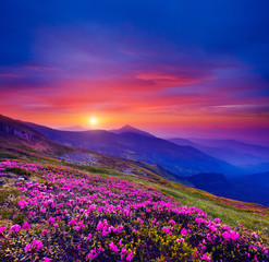 Wall Mural - Pink flower rhododendrons at magical sunset. Location Carpathian mountain, Ukraine, Europe.