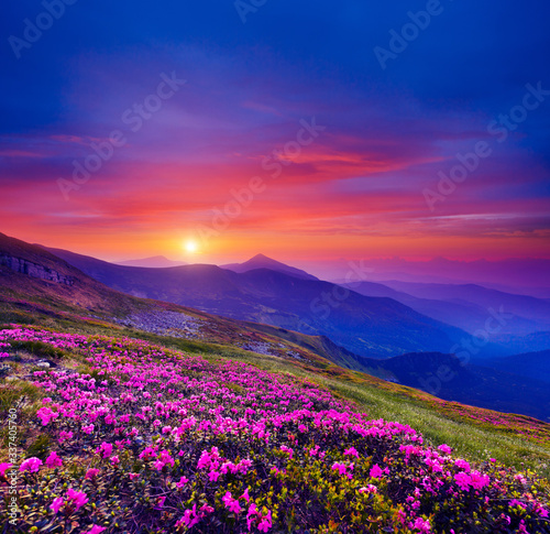 Wall mural Pink flower rhododendrons at magical sunset. Location Carpathian mountain, Ukraine, Europe.
