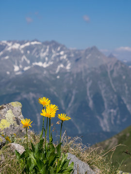 Close-up of Arnica montana flowers in the Alps, mountains in the background