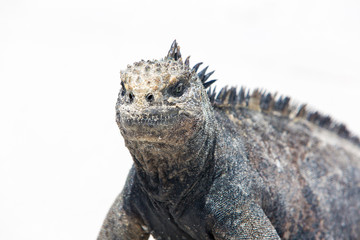 Single marine iguana standing on white beach of Playa de los Alemanes near Puerto Ayora Galapagos islands 2015. (Selective focus)