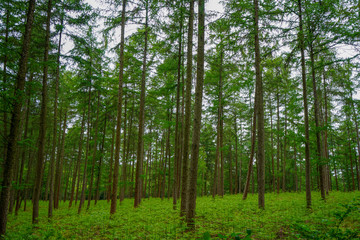 Lush green pine tree forest