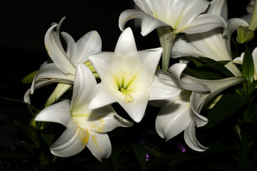 Photo sur cadre textile Fleur de lis White lily on black background