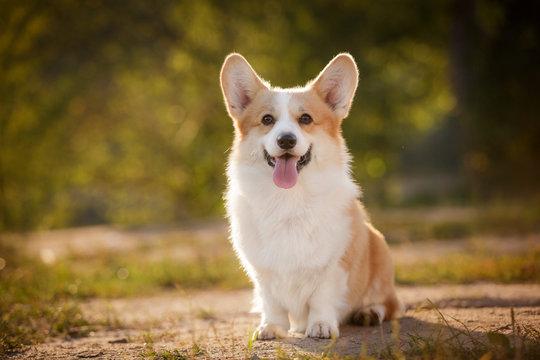 corgi dog pembroke welsh corgi outdoor in summer park