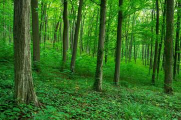 Photo sur Aluminium Vert Sunlight in the green forest, spring time