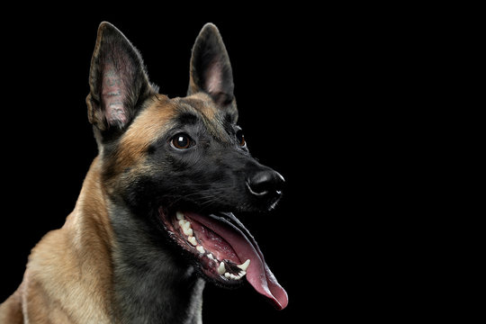 Portrait of a Malinois dog with a tongue on a black background