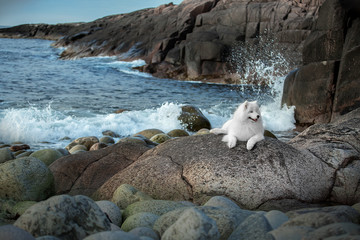 Wall Mural - Beautiful Samoyed Laika dog on rocks and stones