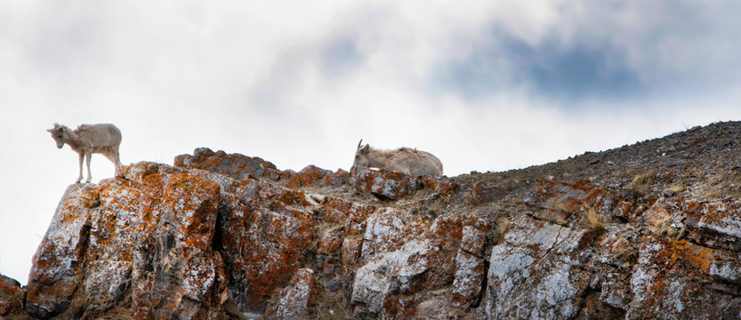 Young bighorn sheep and ewe on a rocky ledge in spring at the National Elk Refuge in Wyoming in front of a cloudy and blue sky