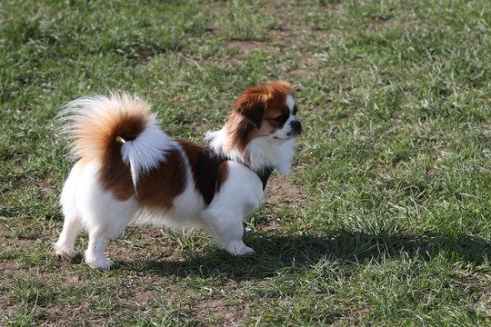 Tibet Spaniel auf der Wiese - kleiner Hund